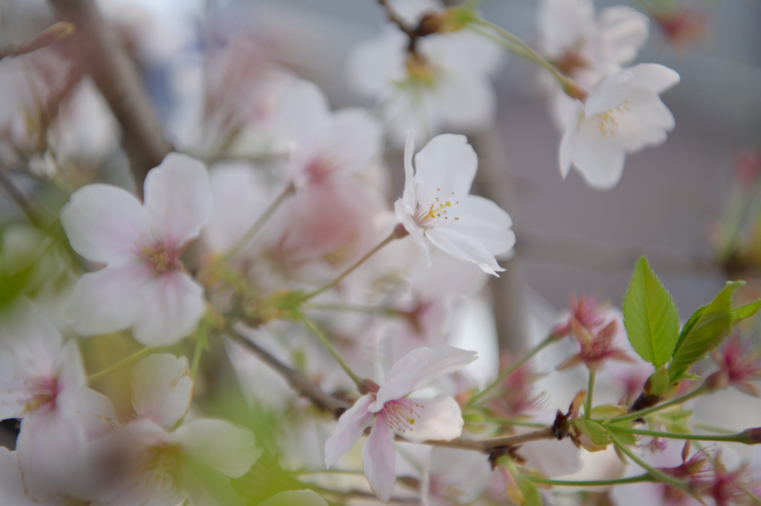 二条城近くの葉桜
